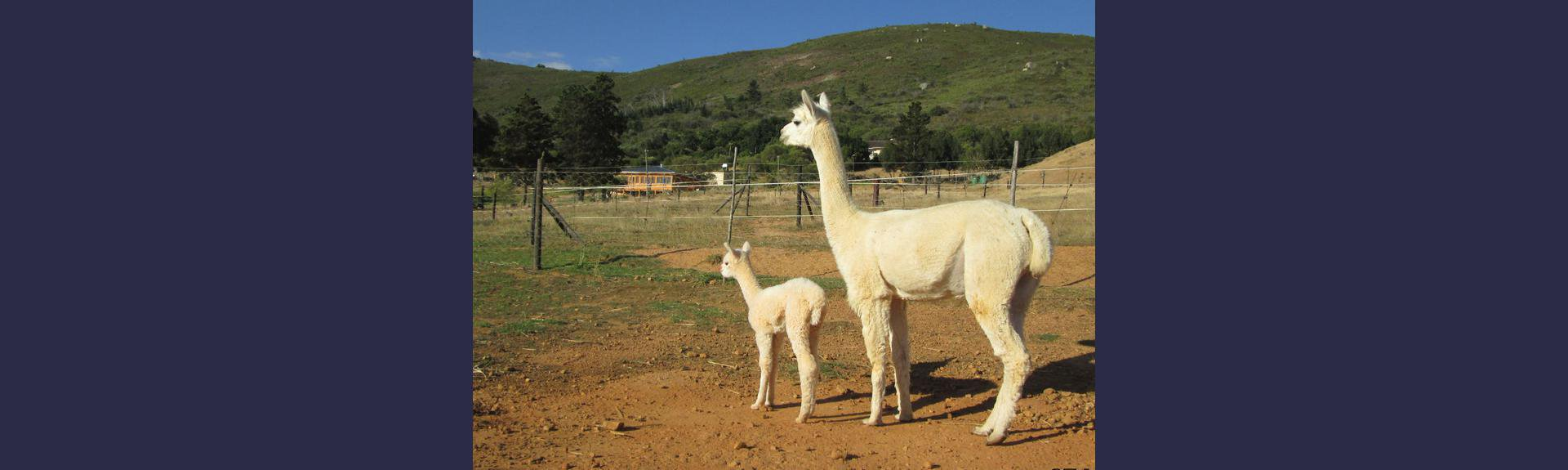 Alpaca Female and her Cria at The Alpaca Loom Paarl